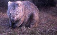 Never Eat A Wet Wombat